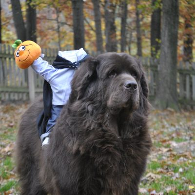 Newfie dressed as the headless horseman