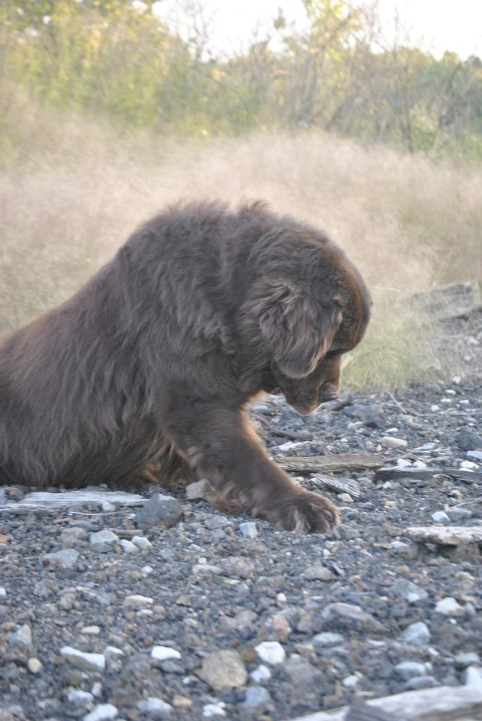 brown dog digging in yard