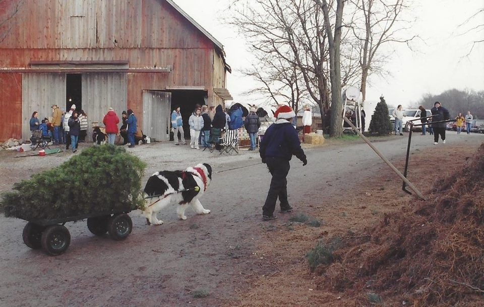Photo Courtesy of Dull's Tree Farm - 2018 Newfoundland Dog Christmas Tree Pull List - Mybrownnewfies.com