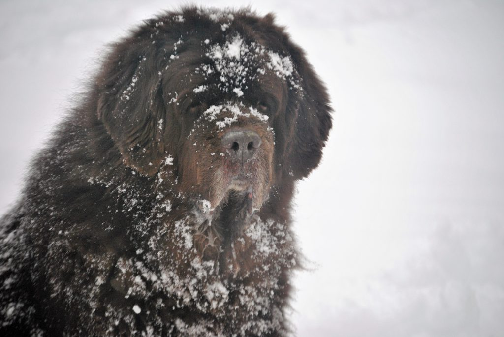 How Cold Is Too Cold For A Newfoundland?