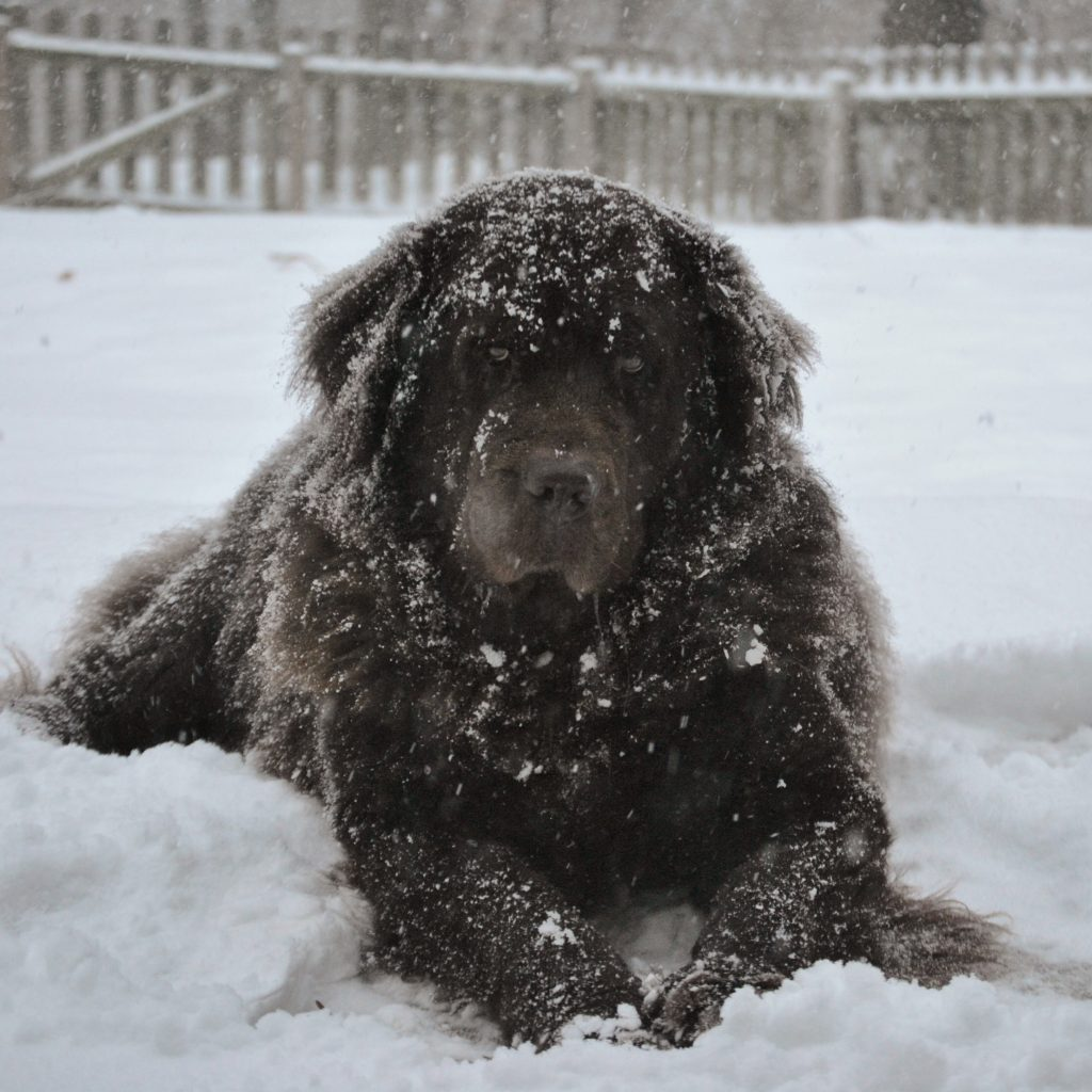 Newfoundland dog out in the snow