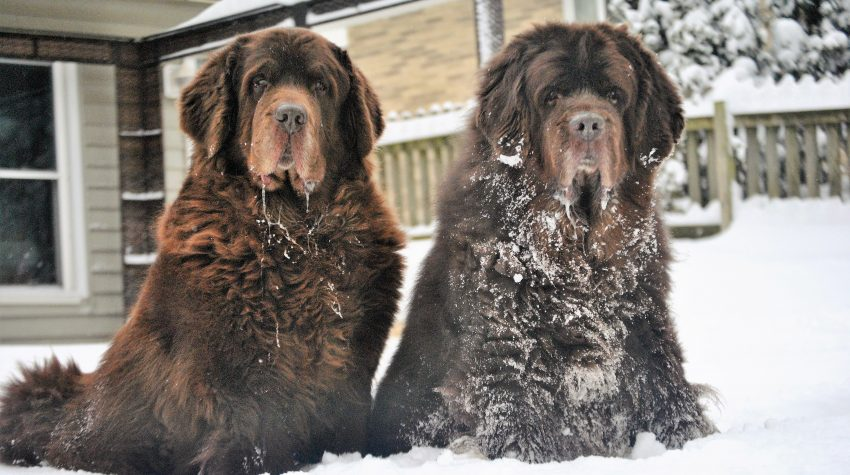 2 brown newfies in the snow