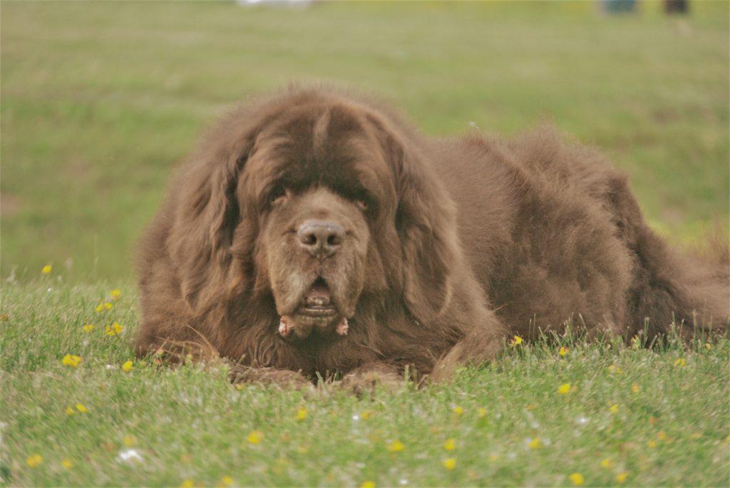Newfoundland dog in grass