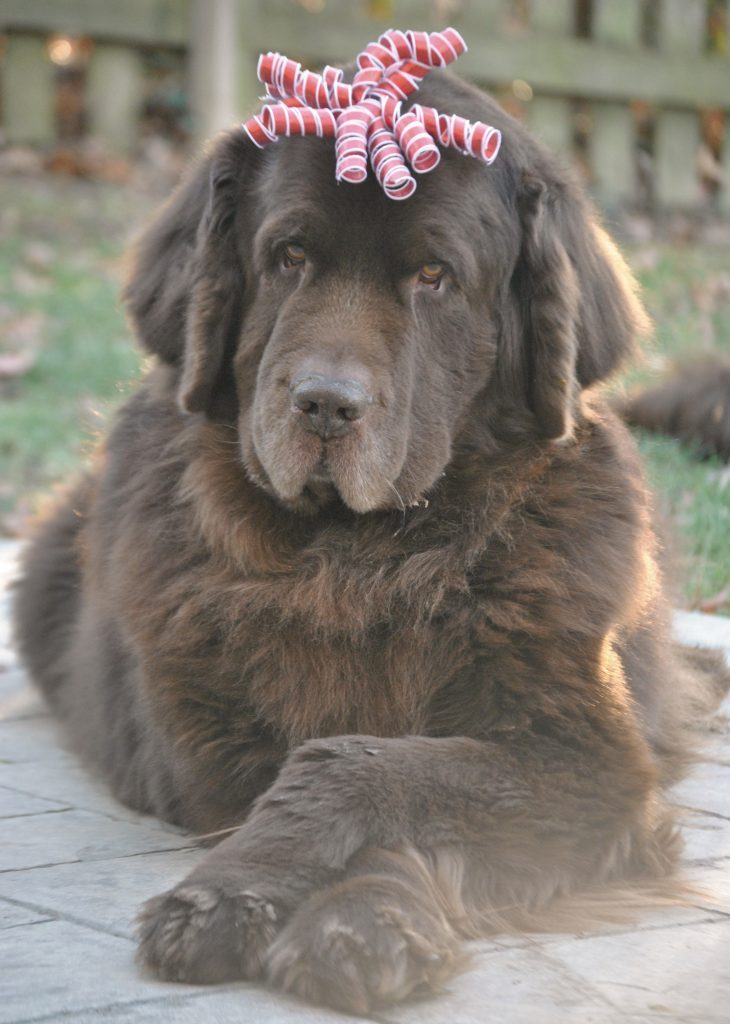 Newfoundland dog with bow