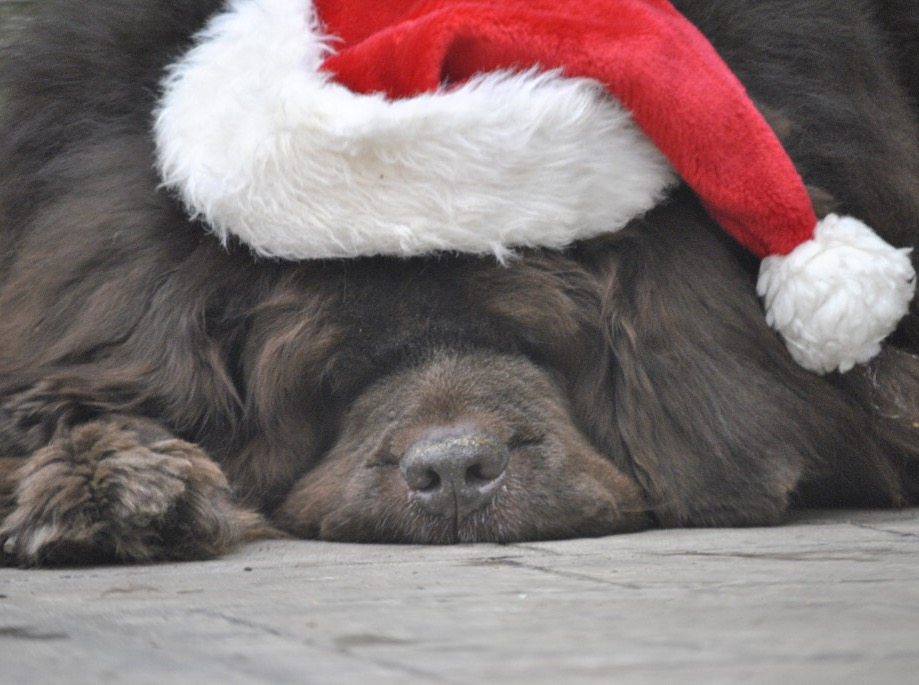 Newfoundland dog in Santa hat