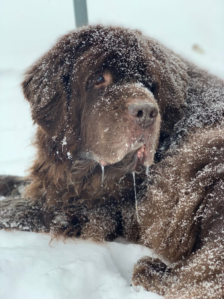 brown newfoundland dog in snow