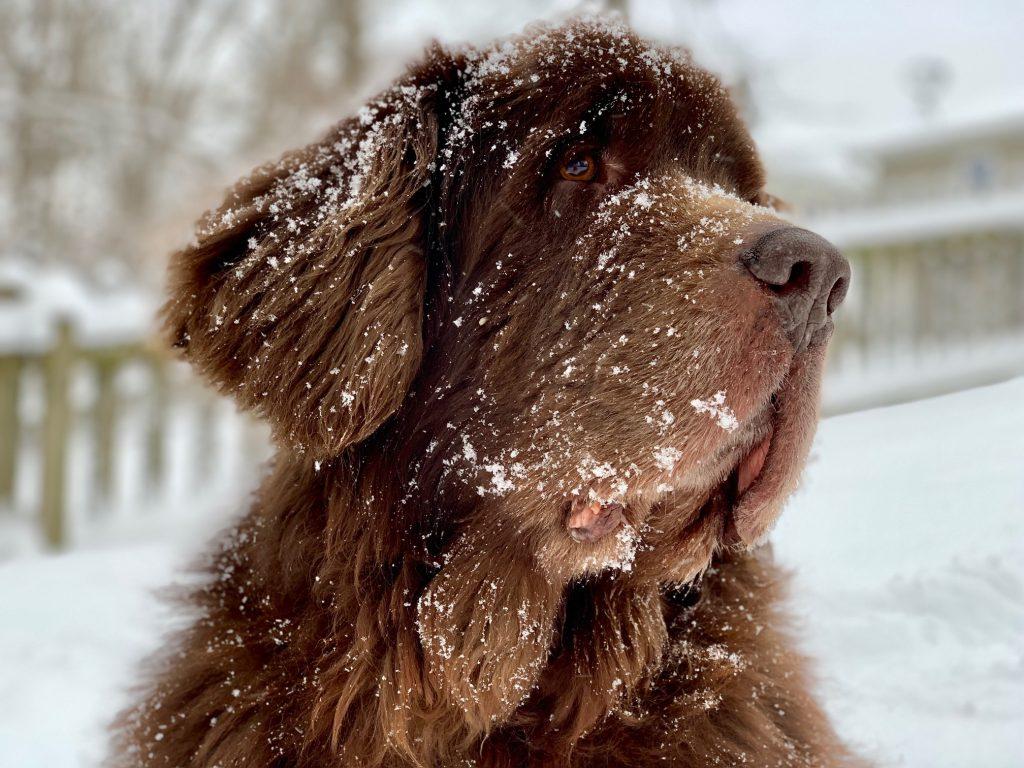 brown newfie dog