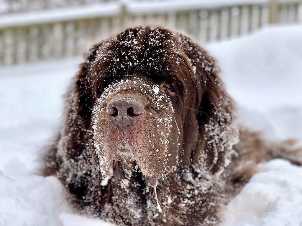 newfoundland dog eating snow