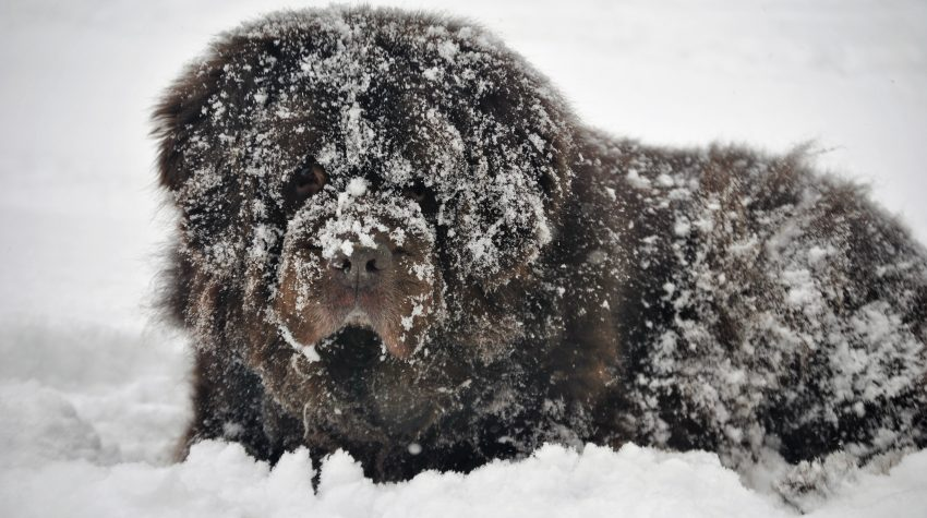 newf covered in snowballs