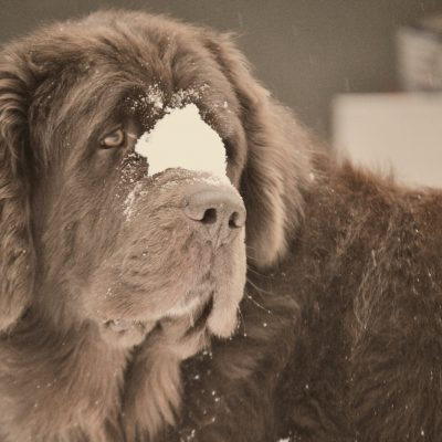 dog with snowball on nose