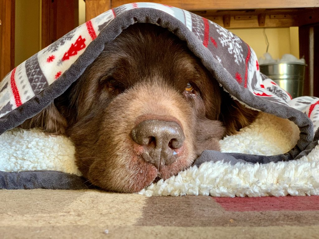 brown newfies wrapped in blanket