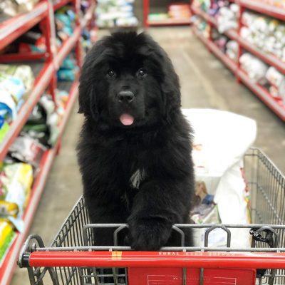 OMG! Newfie Puppy Overload