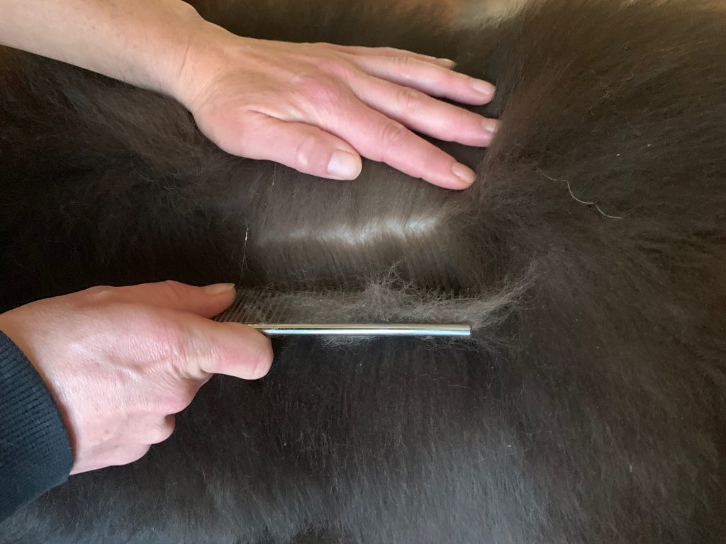 line combing newfoundland dog with greyhound comb
