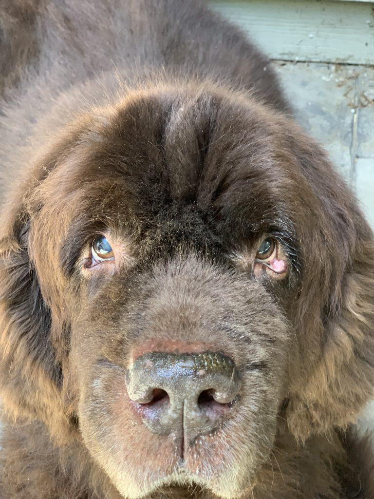 Training Your Newfoundland Using The NILF dog traning approach