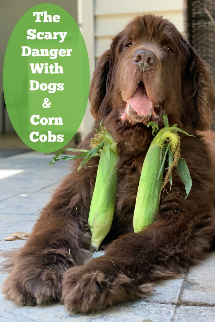 corn on the cob can be choking hazard for dogs and it also can cause an intestinal blockage