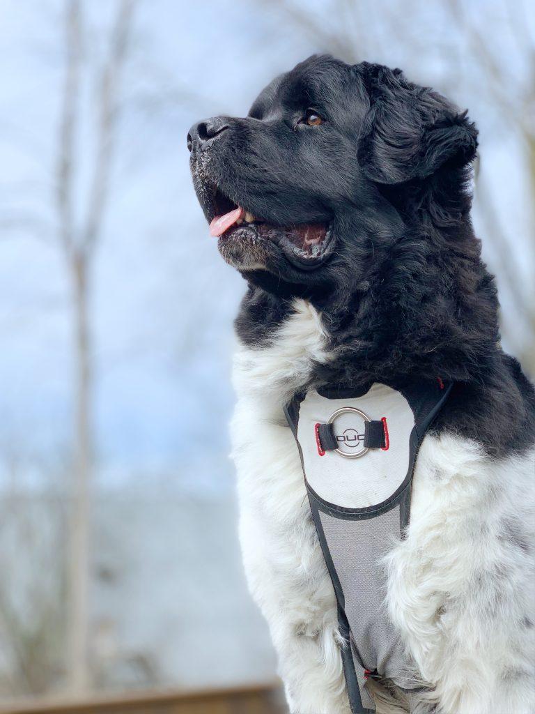 newfoundland dog wearing walking harness