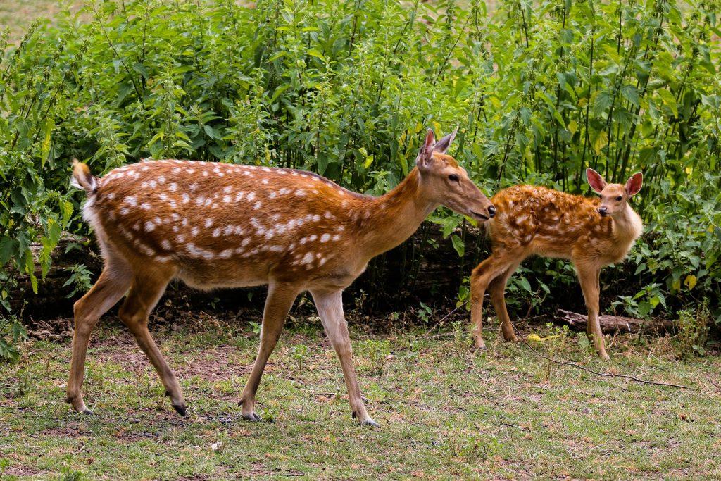deer do not pass lyme disease but they do carry ticks