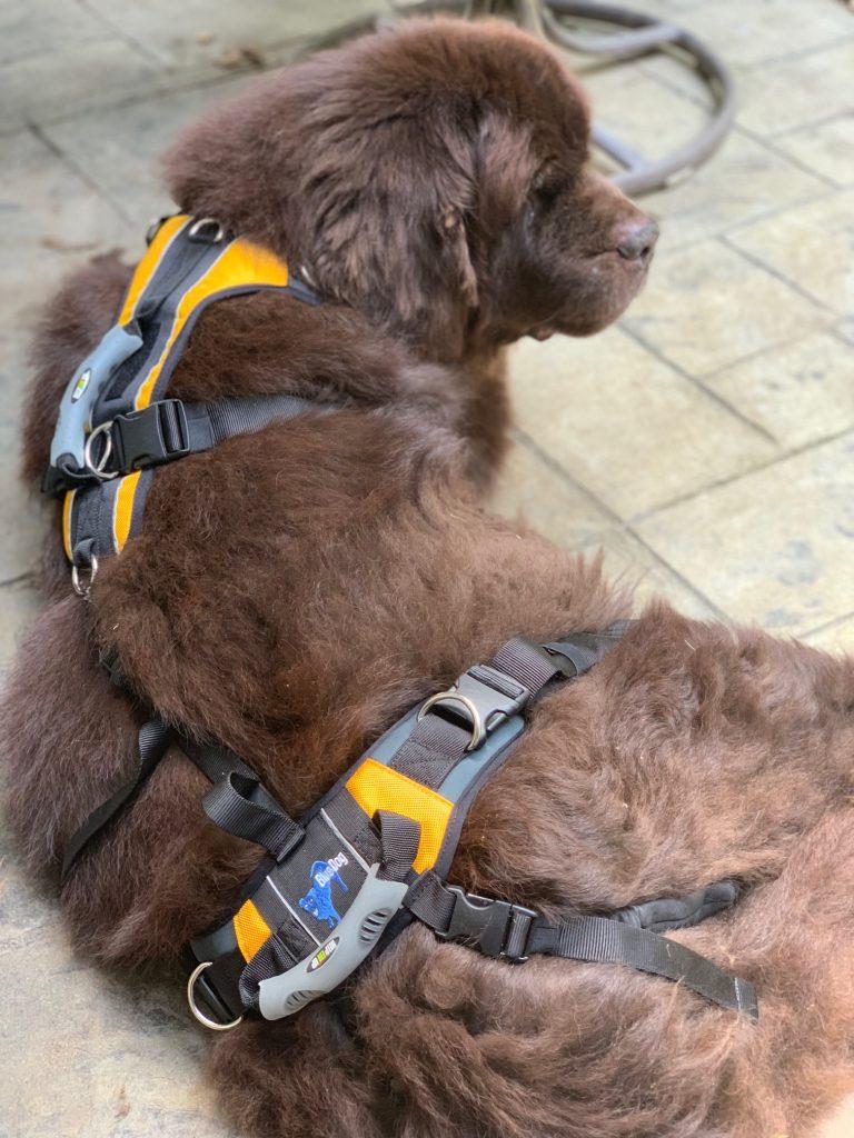 newfoundland dog wearing lifting harness