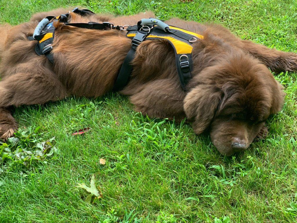 brown newfoundland dog wearing lifting harness