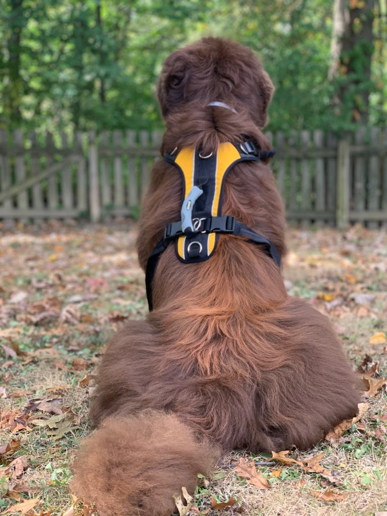 newf wearing help 'em up harness