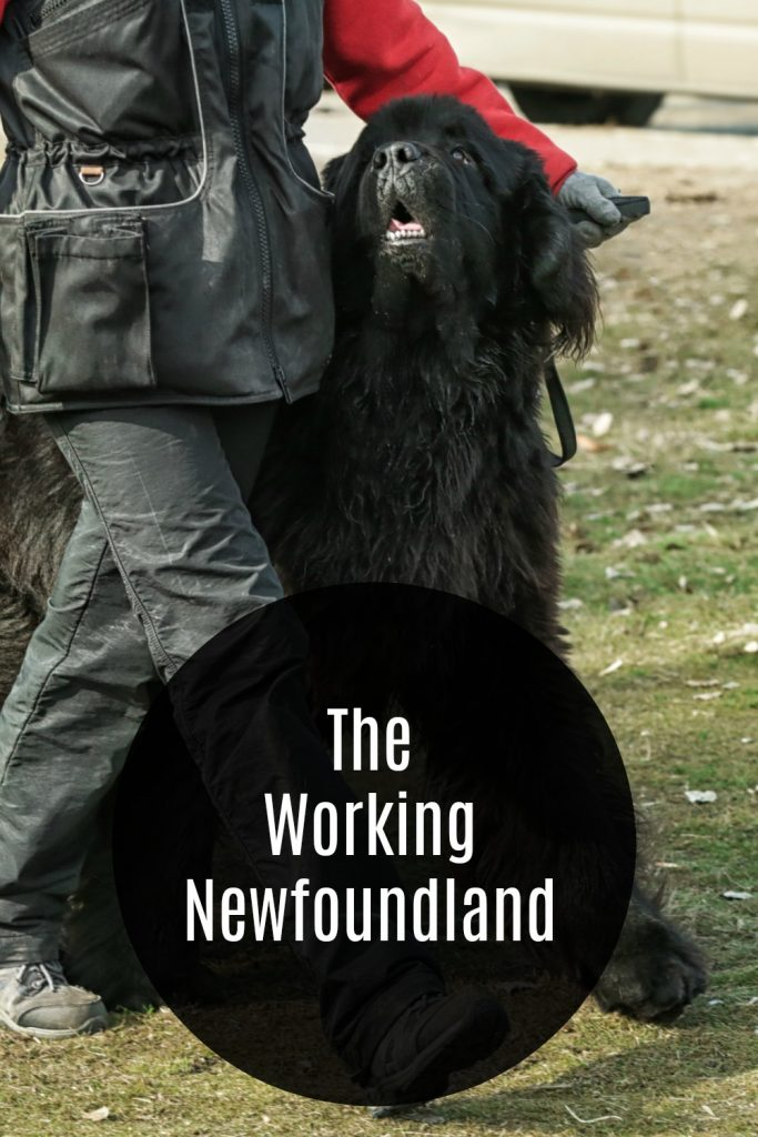newfoundland dog working