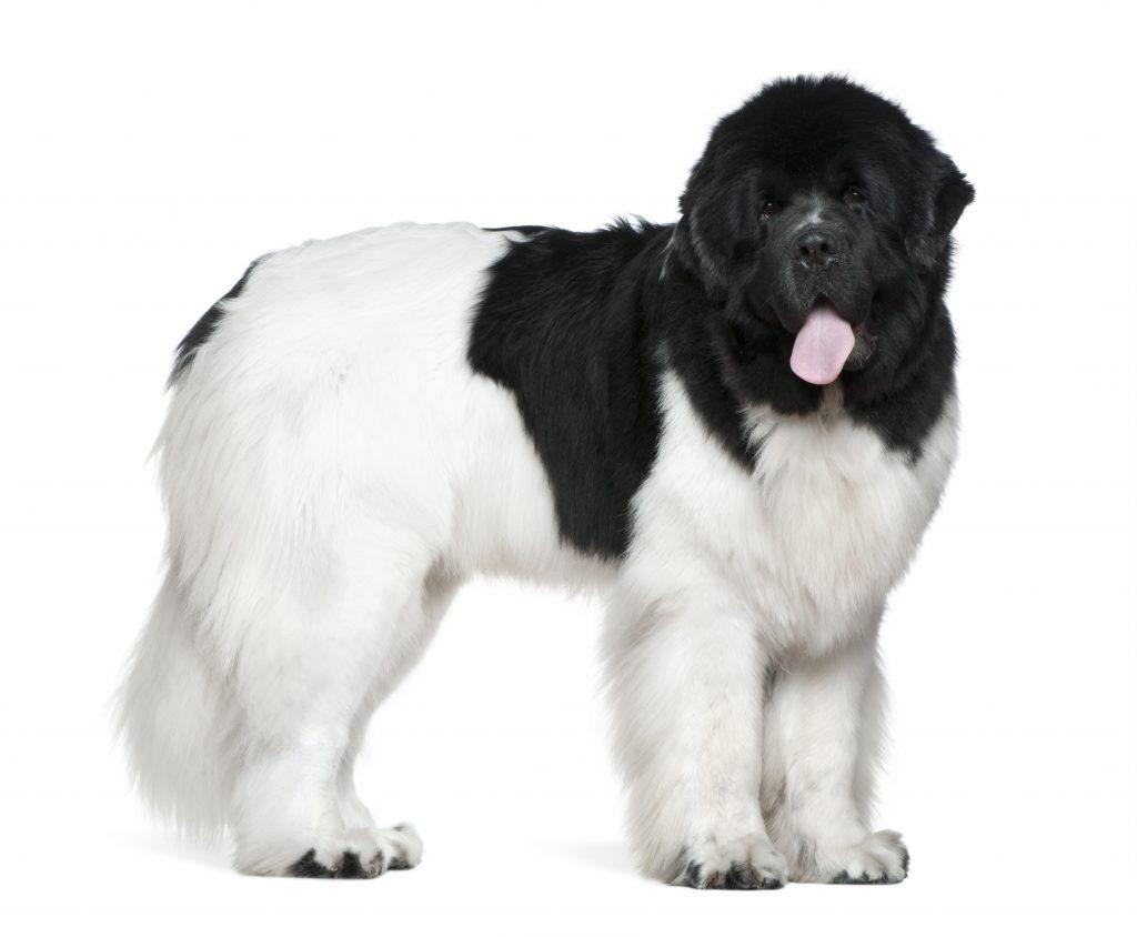white and black newfoundland dog
