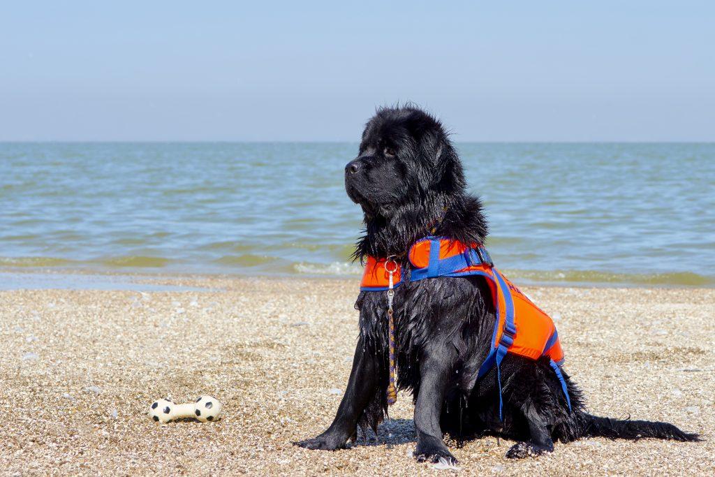 black newfoundland dog sitting on the beach