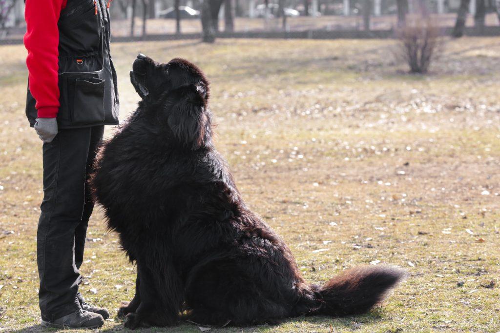 black newfoundland dog training
