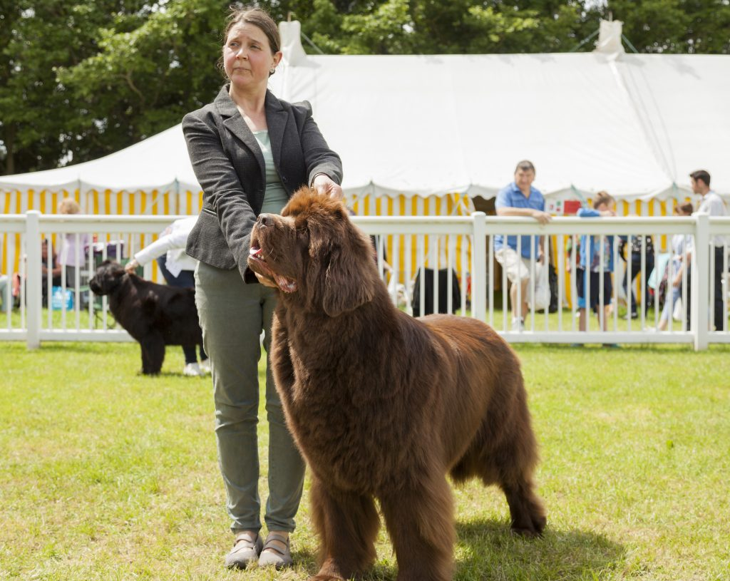 brown newfoundland dog in the show ring