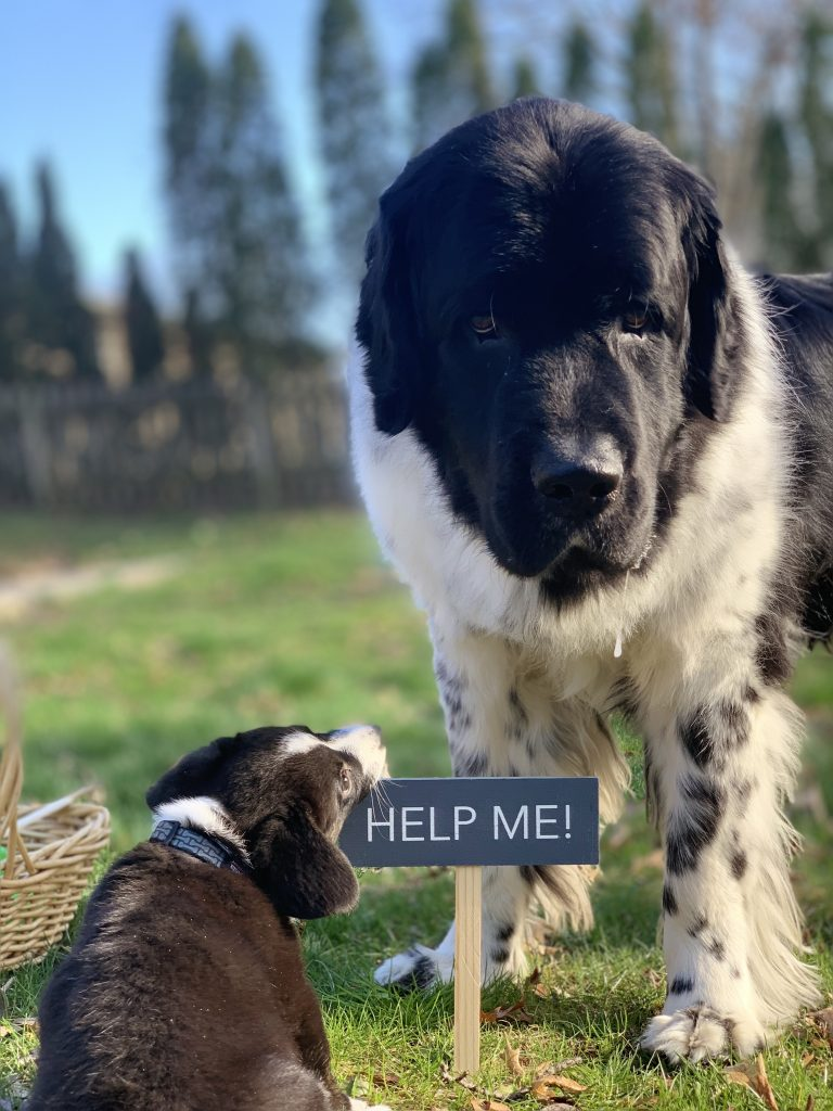 newfoundland dog and corgi puppy