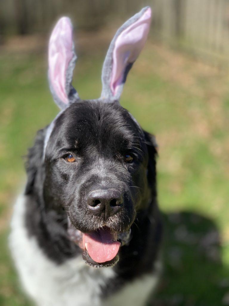 newfoundland dog wearing bunny ears