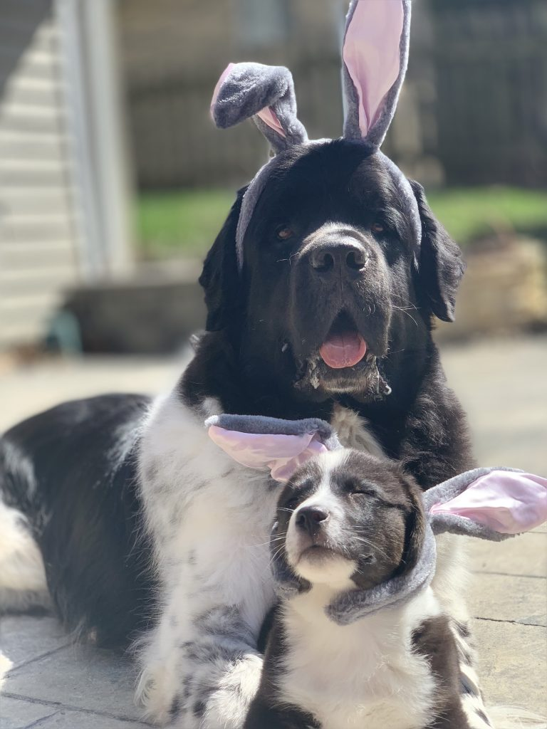 corgi puppy and newfie wearing bunny ears