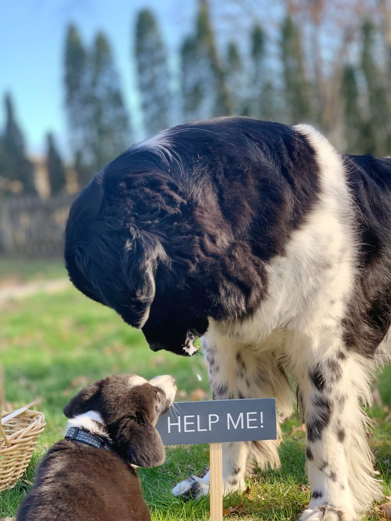 corgi puppy and newfoundland dog