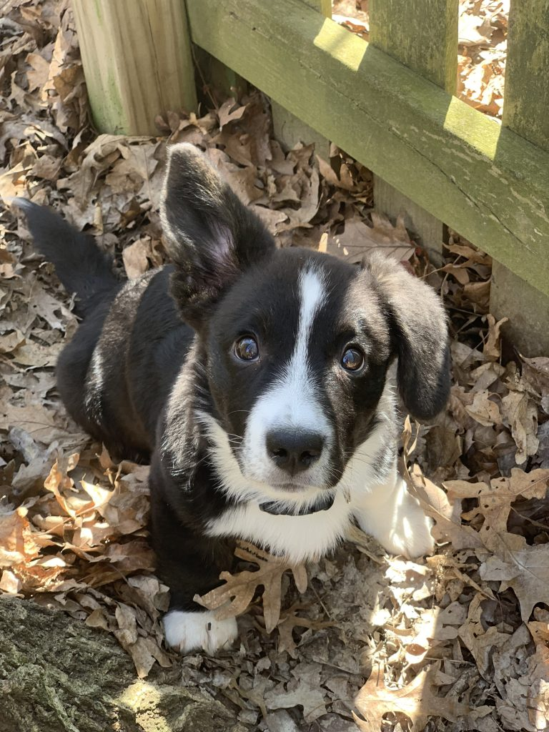 cardigna welsh corgi puppy with one ear up
