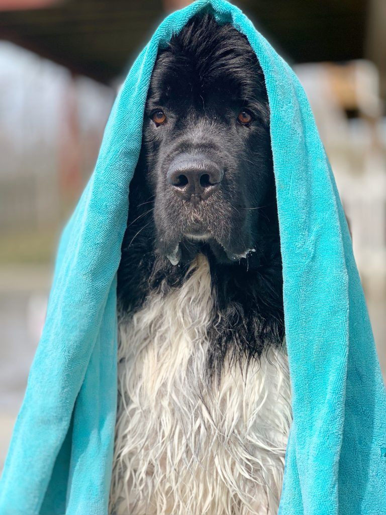 newfoundland dog after bath