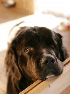 newfoundland dog with head on counter