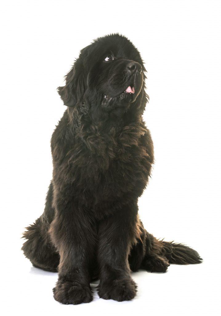 black newfoundland dog looking up