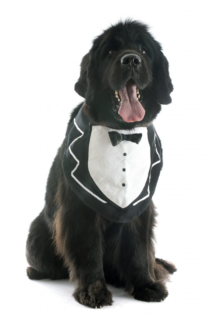 black newfoundland dog wearing bib