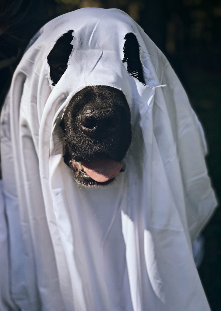 newfoundland dog dressed as ghost for halloween