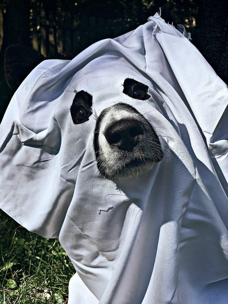 cardigna welsh corgi dressed as ghost