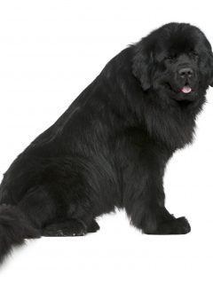 how much do newfoundlands weigh