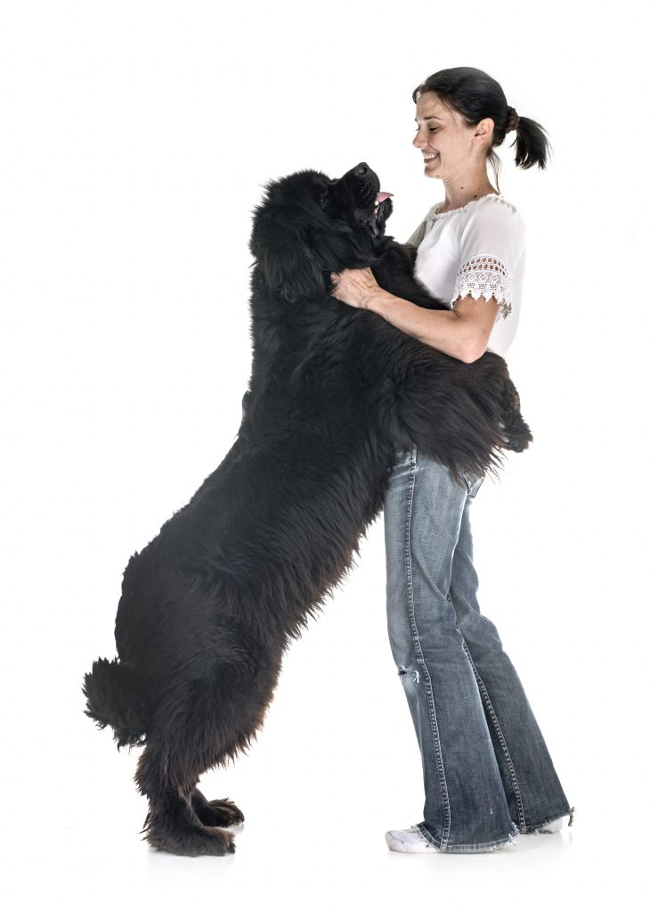 newfoundland jumping on owner