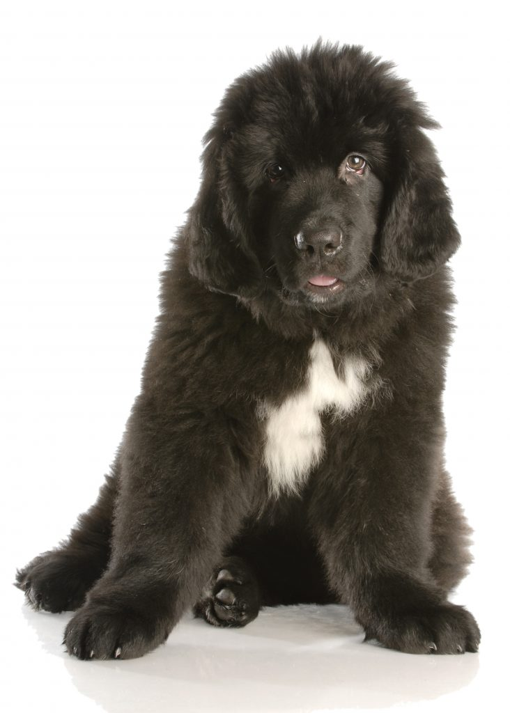 how much does a newfoundland puppy weigh