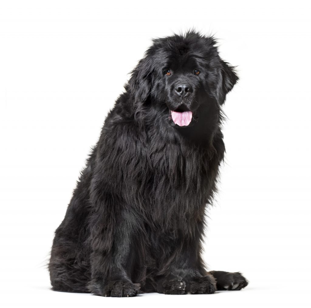 do newfoundland dogs smell