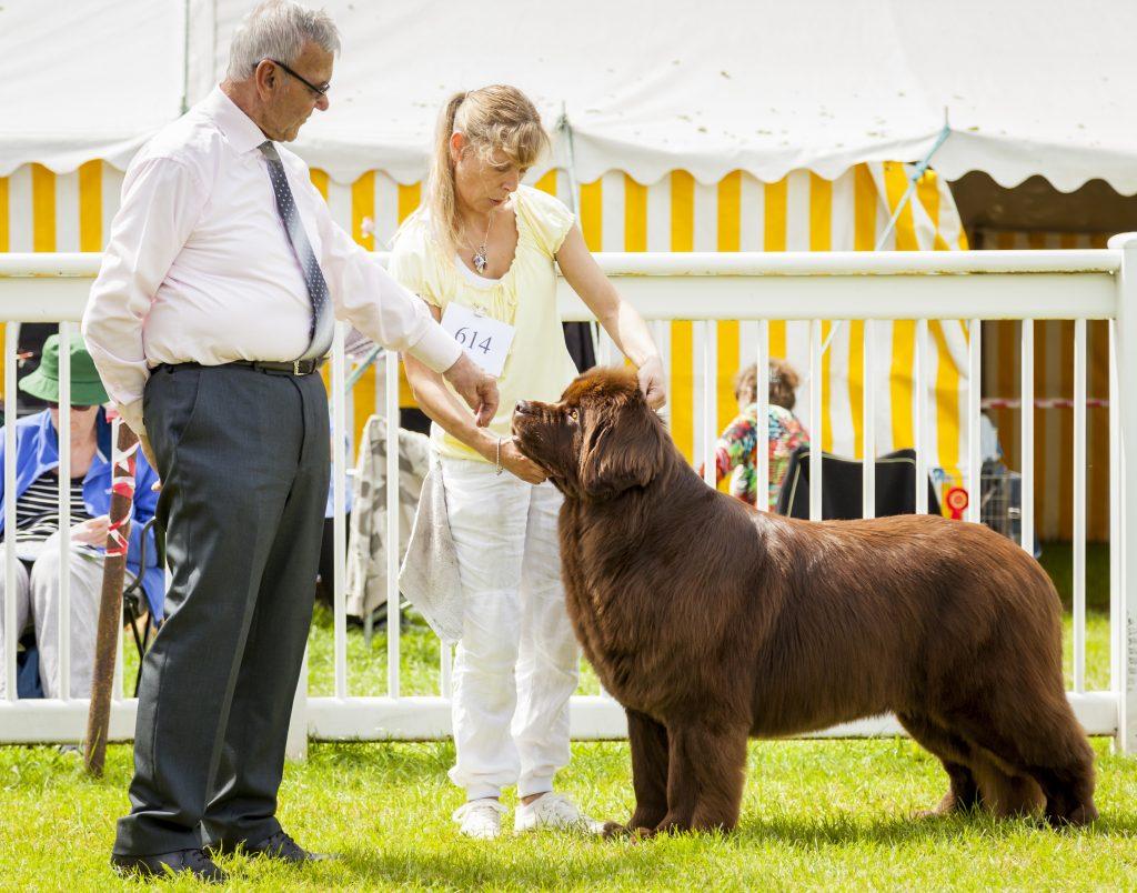 brown newfoundland dog being judged at dog show