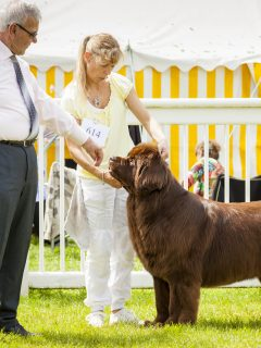 brown newfoundland dog being judged at dog show