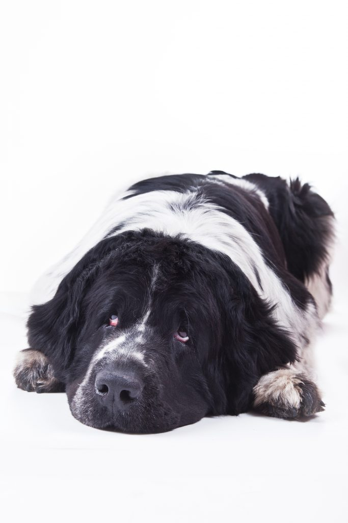 do Newfoundland dogs sleep a lot
