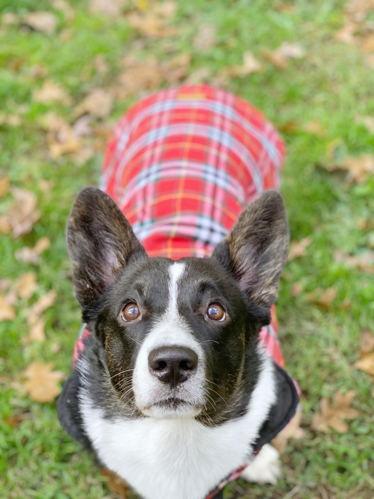 cardigan welsh corgi wearing dog coat
