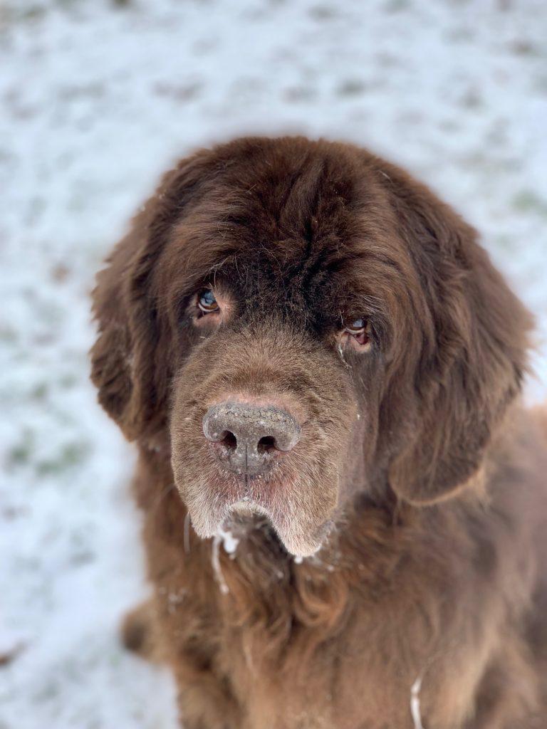 senior brown newfoundland dog