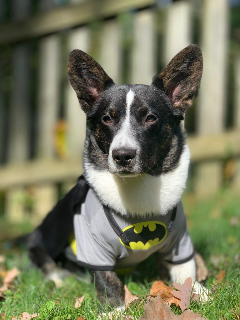 corgi wearing batman costume